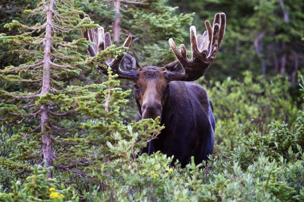 http://chasingmytrail.com/tag/moose/